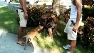 The Tiger & Dog full fight WhatsApp  video