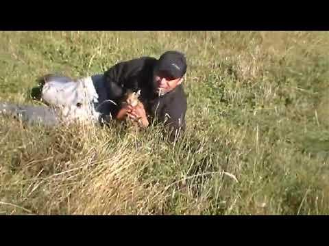 caza con galgos curico la liebre  echada