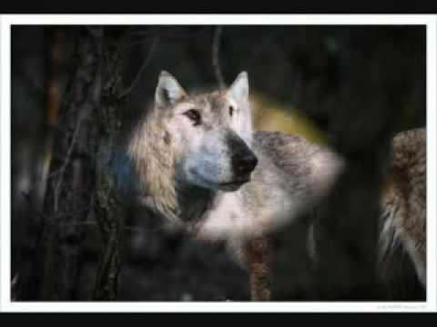 Одинокий - Волк.