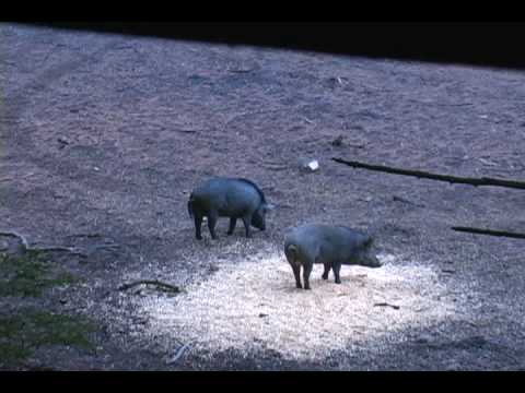Hog huntin Video