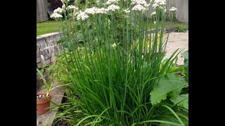 How to grow Chinese Chives or  Garlic Chives