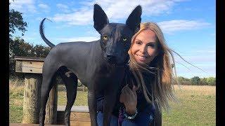THE XOLO DOG - SCARY OR BEAUTIFUL? - Mexican Hairless Xoloitzcuintli