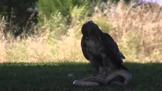 Eagle Vs Snake Fight HD   Nat Geo [ 720p HD ]