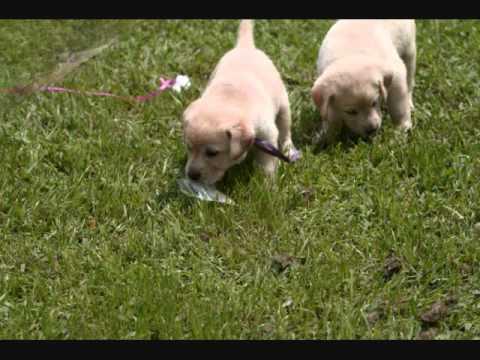 Imprinting Dog Imprinting Diabetic Alert Dogs