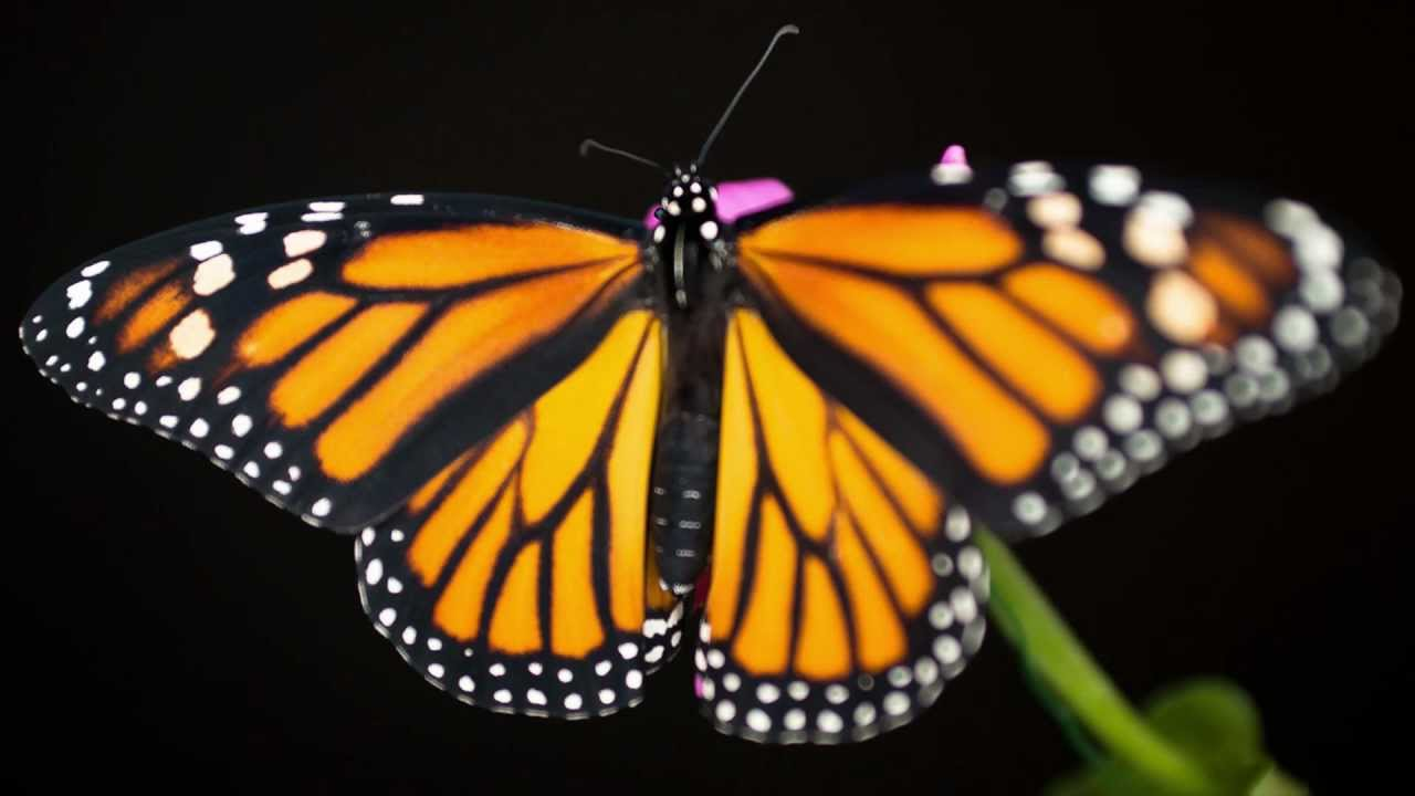 Monarch Caterpillar To Butterfly