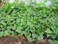 kumara by RJ / how to grow sweet potato