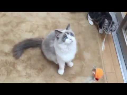 ねこじゃらしにじゃれるラグドールと猫パンチ受けるマンチカン子猫|茅ヶ崎猫カフェ「ねこのすみか」