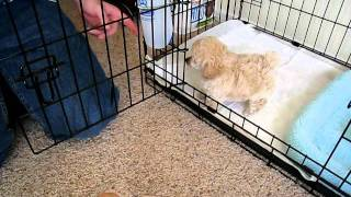 My Toy Poodle Puppy Niko's First Day Home