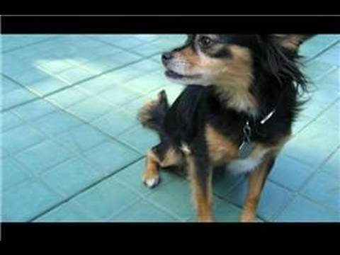 Long Hair Chihuahua Care - Best Hairstyles 2014 Ideas