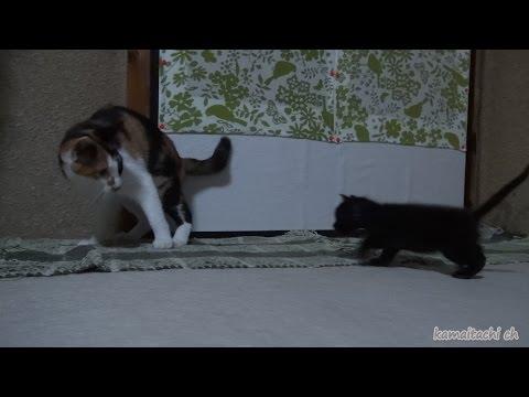 2014 11 1 ミケを母猫と勘違い?後を追う子猫クロ misunderstanding the mike and mother cat? Kuro to keep up with the Mike