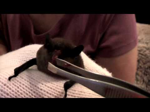 Pipistrelle Bat Cargo Fleet Lane Rescue December 2009.mov Video
