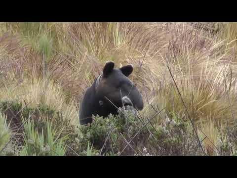 Tapir de montaña o gran bestia