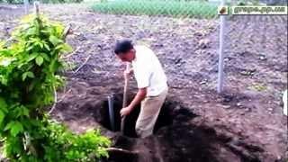 Способ посадки винограда