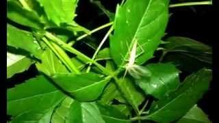 Cırcır Böceği - cırcır böceği sesi