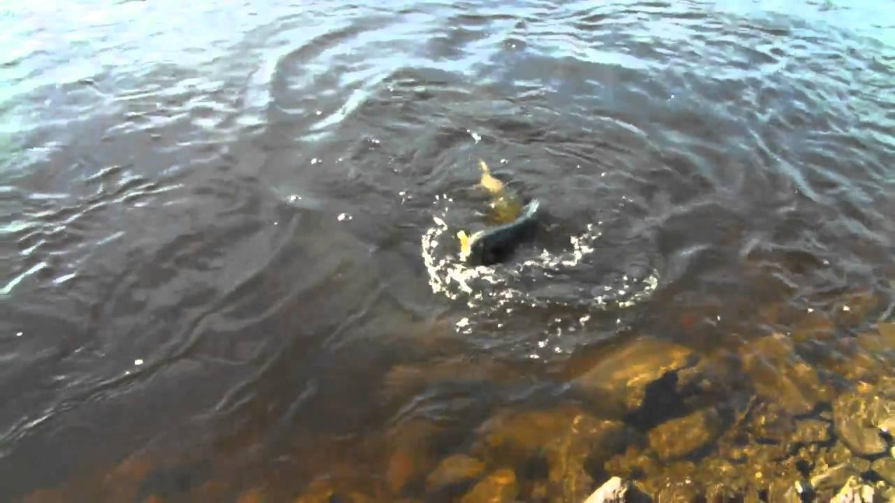 Trophy salmon fishing in dexter new york youtube for Salmon fishing season ny
