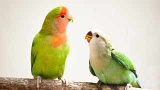 How to Breed Parakeets - Budgies