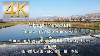4K 船岡城址公園~白石川堤一目千本桜