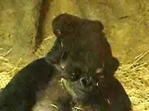 ニシローランドゴリラの親子、モモコと赤ちゃんのコモモ。010