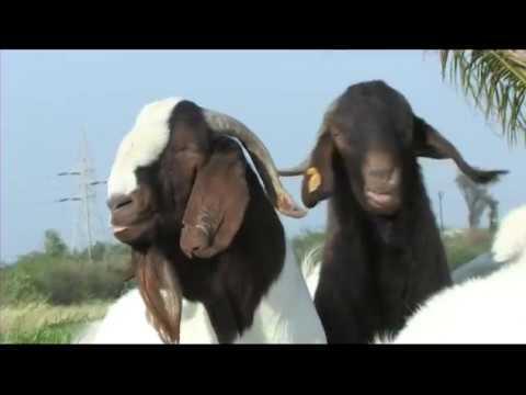 Nimbkar Goat