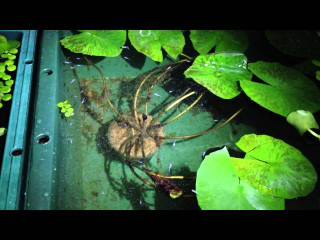 夜のベランダのミユキメダカの稚魚
