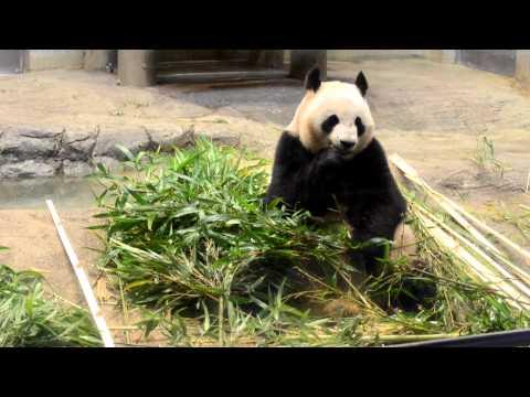 上野動物園 パンダ リーリー
