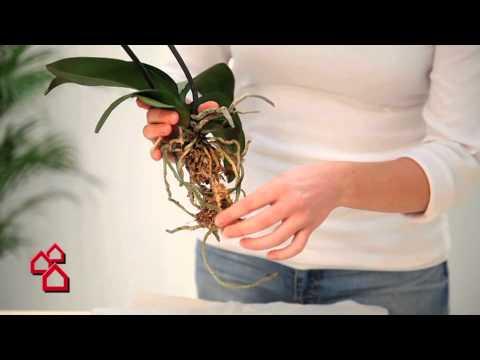 BAUHAUS TV - Produktvideo: Seramis Orchideen Spezial Substrat