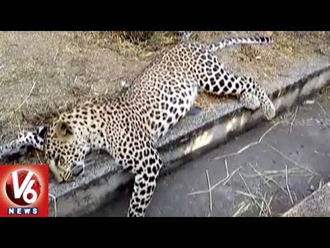 Leopard Killed After Hit By Unknown Vehicle In Nizamabad District | V6 News