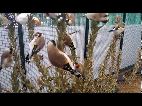Zucht Stieglitz Major und Dompfaff 2013,Jilguero,birds,carduelis,goldfinch.