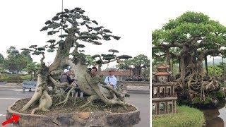 """Hàng ngàn """"cụ"""" bonsai, cây cảnh tiền tỷ hội tụ về Thủ đô"""