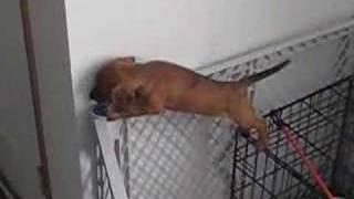 El Gran Escape: Como un cachorro se salió de su jaula
