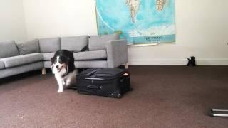 Border Collie arrumando as malas pra viajar