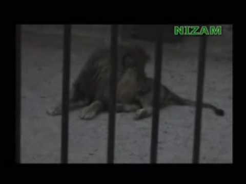 Muslim Islamic Miracle Lion saying Allah