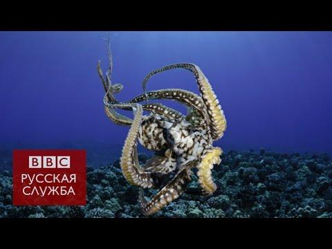 Осьминоги общаются с помощью изменения цвета