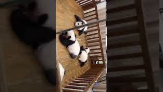 TRY NOT TO LAUGH ,panda Videos , Funny Videos 0216 1 7