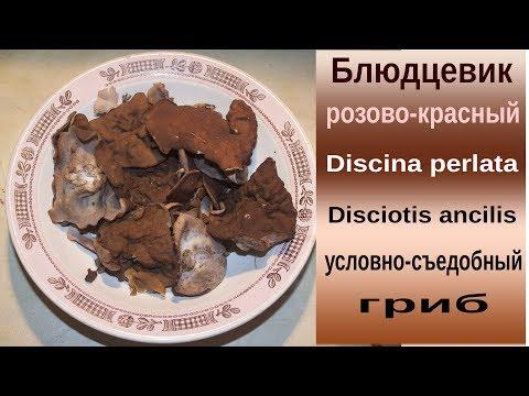 Свиные ушки - съедобный весенний гриб
