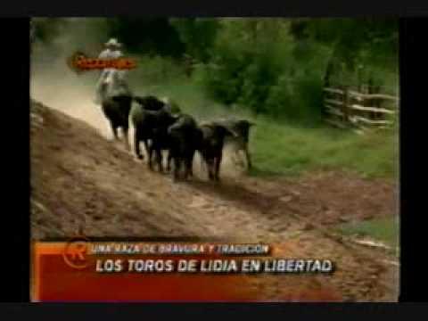 Toros de Lidia