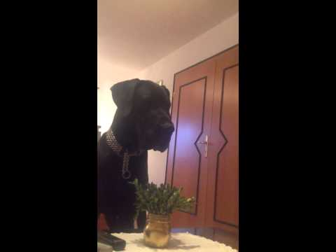 Great Dane Reaction To Wolf Howl Funny video