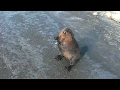 Talking Beaver on the Highway