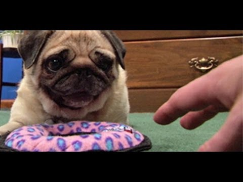DON'T TOUCH pugs new toy!