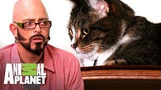 ¡Pelea de gatos termina con sangre!  | Mi gato endemoniado | Animal Planet