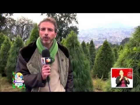 En Tlalpan están los mejores árboles de Navidad