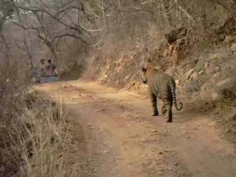 Tiger spotting in Ranthambore Forest Resort