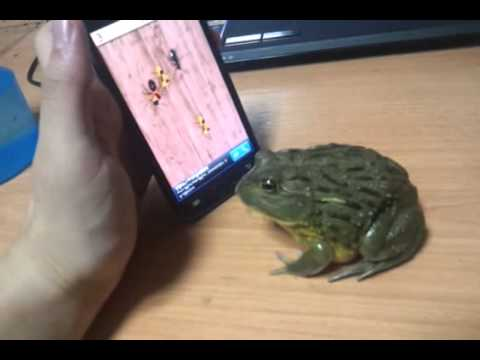 Frog plays cell phone game