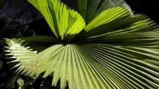 Lucuala - Planta de grandes hojas plisadas