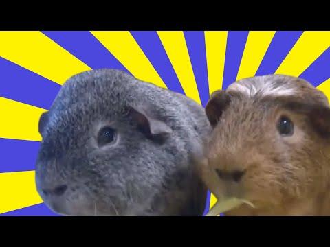 Cute Pet Guinea Pigs- Compilation