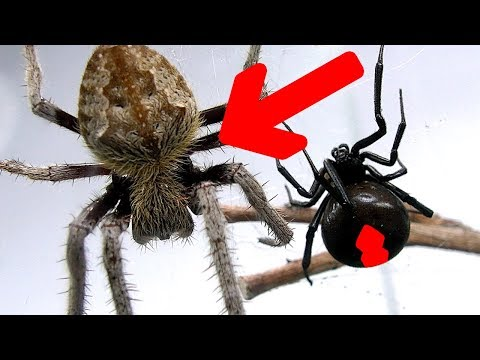 Redback Spider Vs Giant Hairy Scary Orb Spider Amazing Bug War & Sucking Fluids