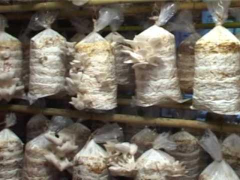 Mushroom production technology 1st part youtube - Wild mushrooms business ideas ...