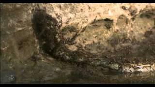 මෙන්න කූඹියෝ එකතු වෙලා සර්පයෙක්ව මරණවා...!! විශ්වාස කරන්නත් අමාරුයි..!! Snake vs Ants