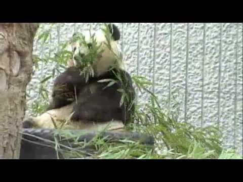 パンダの笹の葉もぐもぐタイム@王子動物園