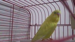 Dünyanın en iyi öten kuşu saka melezi piç saka